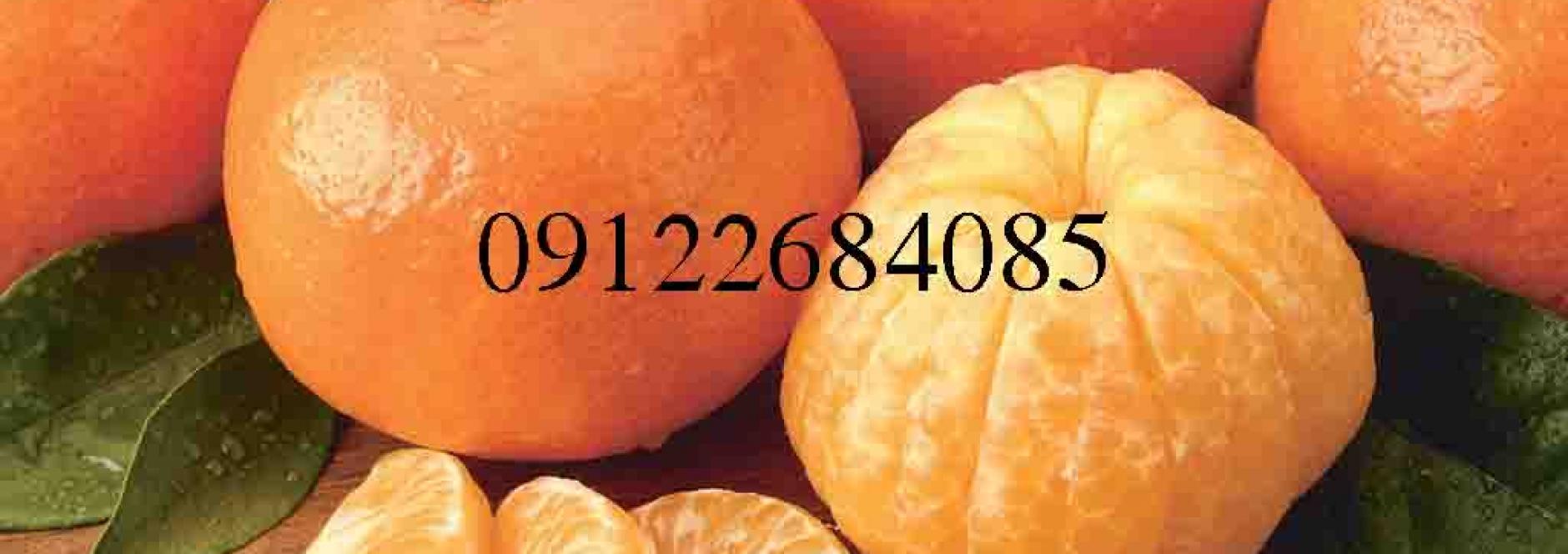 نهال پرتقال