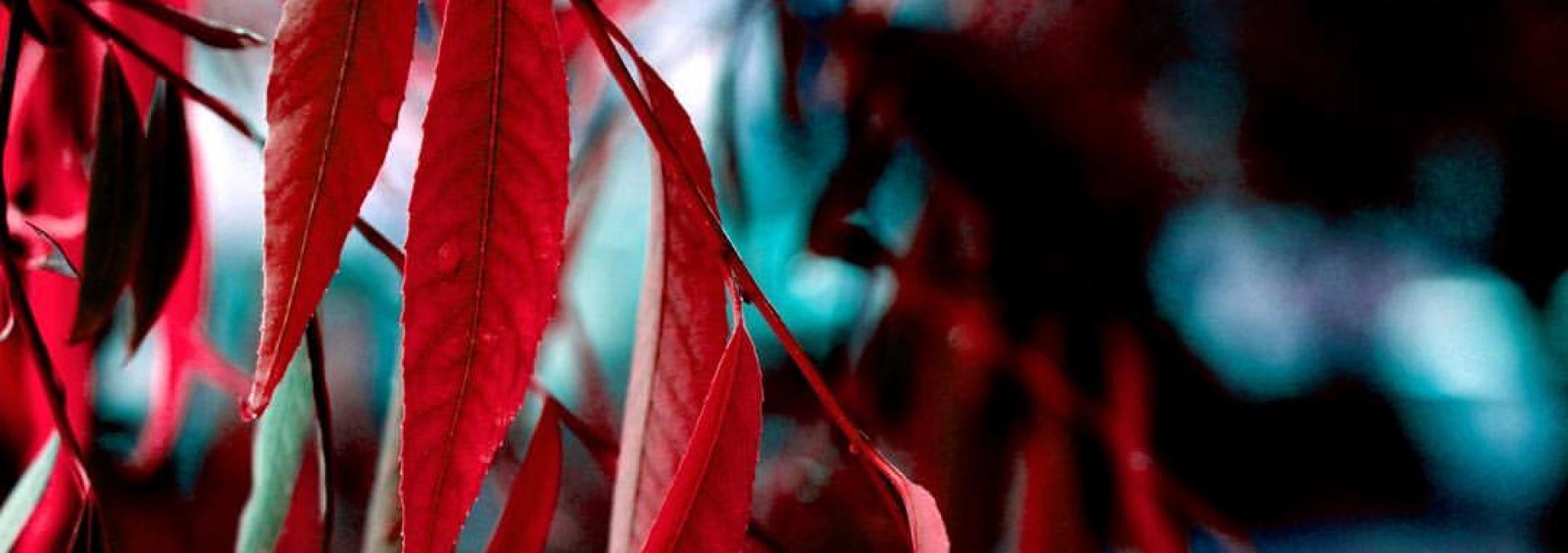 نهال بید قرمز (نهالستان جلیلی)