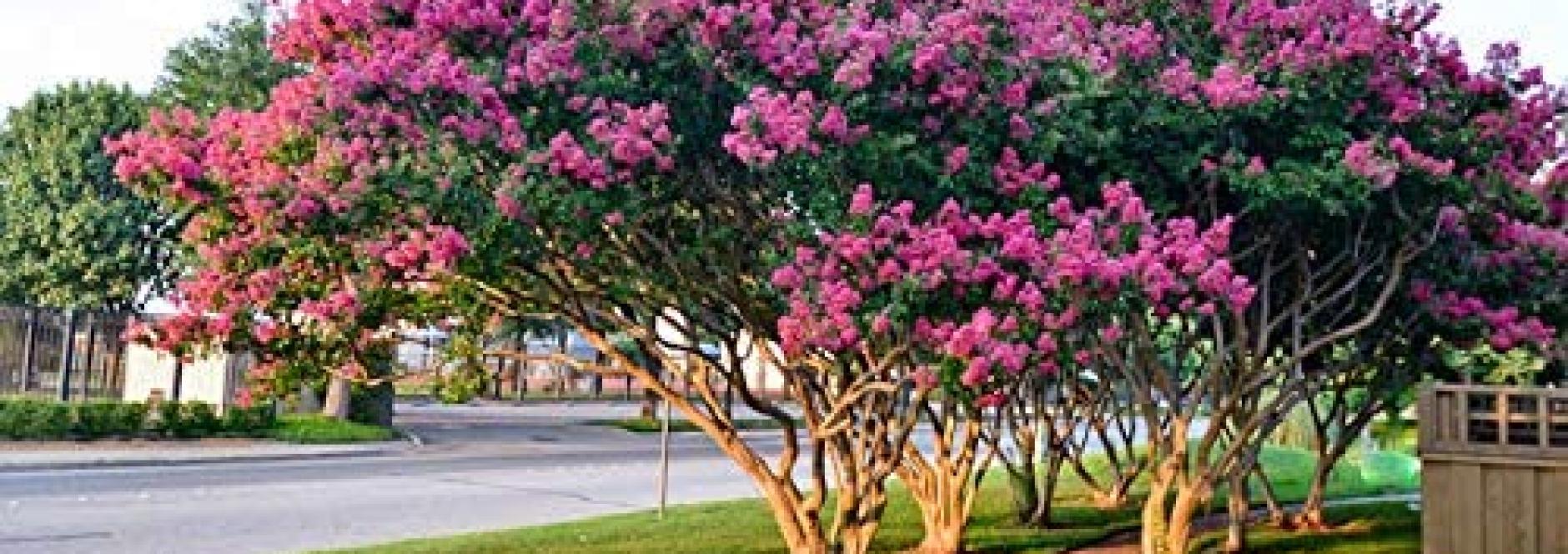 درختچه توری (نهالستان جلیلی)