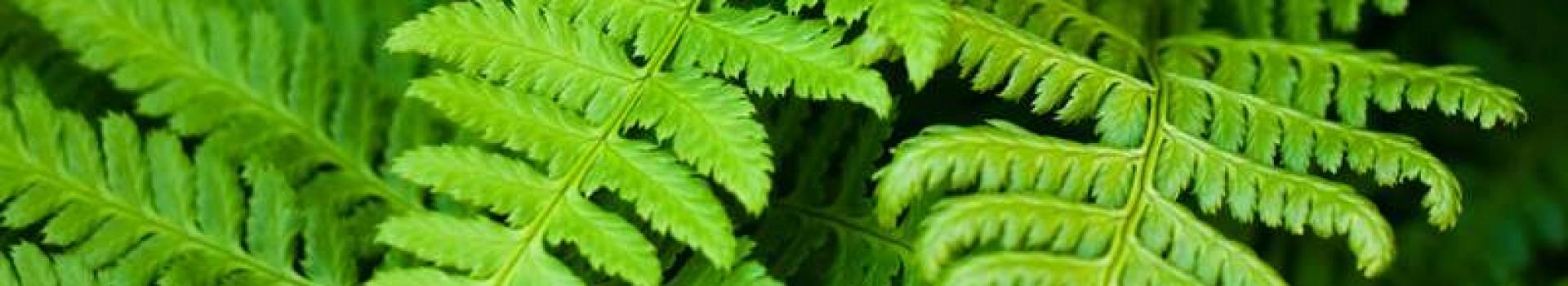 گیاه سرخس
