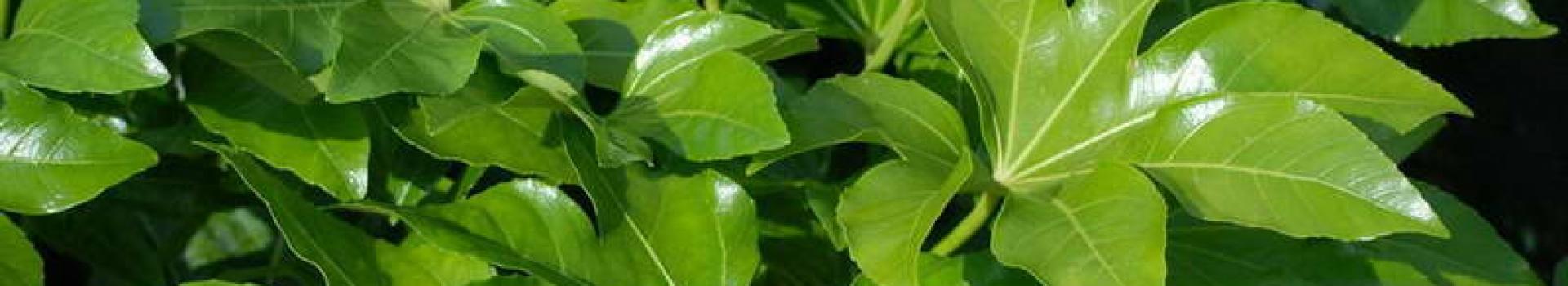 گیاه آلاریا