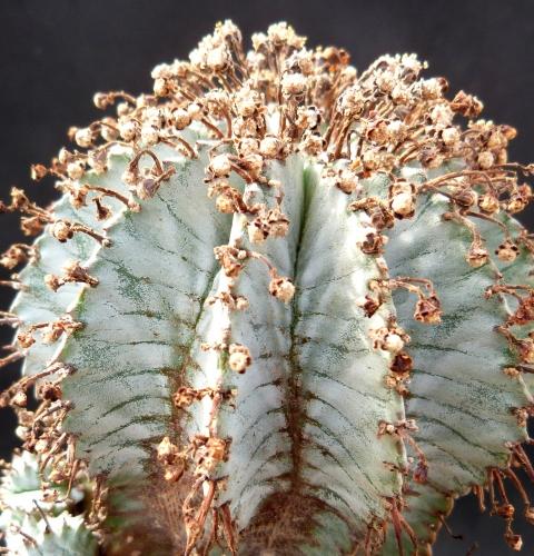 گیاه افوربیا