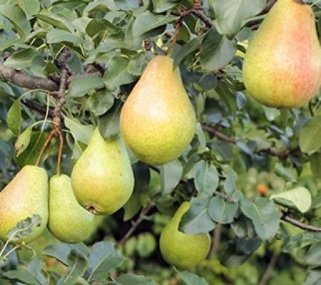 نهال شاه میوه (نهالستان جلیلی)
