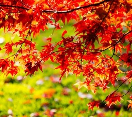 درخت افرای ژاپنی